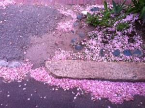 Cherry blossom litter 6